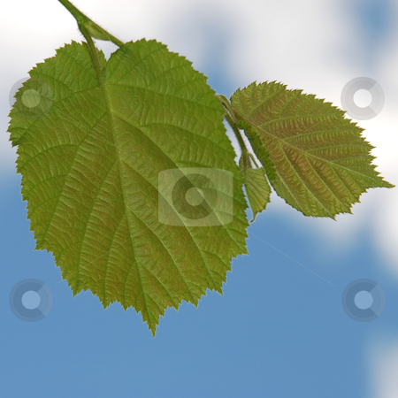 Leaf stock photo, Green leaf on blue sky and white clouds background by Valentyna Chukhlyebova