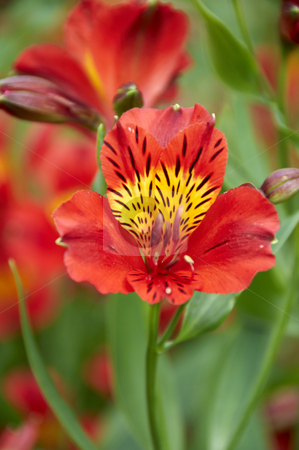 Red flower stock photo, A red flower with a green background by Mark Bond