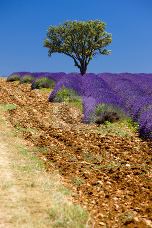 Lavender field stock photo, Lavender field with a tree, Provence, France by Richard Semik