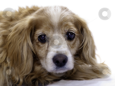 Isolated Cockapoo stock photo, An elderly cockapoo dog is isolated against a white background. by Richard Nelson
