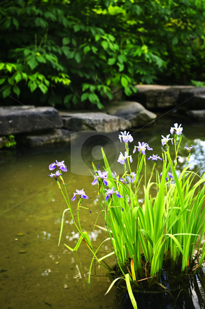 Purple irises in pond stock photo, Purple iris flowers in landscaped natural garden pond by Elena Elisseeva