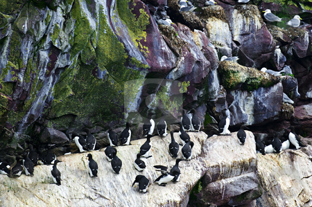 Birds at Cape St. Mary's Ecological Bird Sanctuary in Newfoundland stock photo, Razorbills and kittiwakes at Cape St. Mary's Ecological Bird Sanctuary in Newfoundland, Canada by Elena Elisseeva