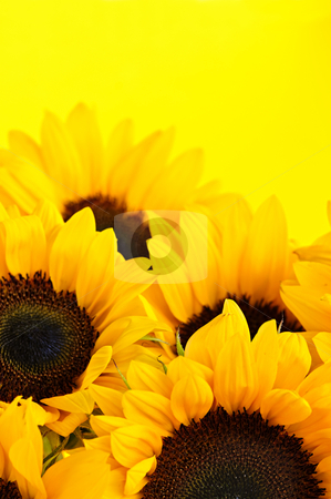 Sunflowers stock photo, Bouquet of sunflower flowers on yellow background by Elena Elisseeva