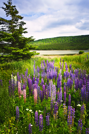 Purple and pink garden lupin flowers stock photo, Purple and pink garden lupin wild flowers near lake in Newfoundland by Elena Elisseeva