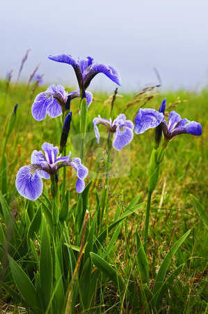 Blue flag iris flowers stock photo, Blue flag iris wild flowers in Newfoundland Canada by Elena Elisseeva