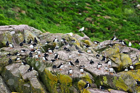 Puffins on rocks in Newfoundland stock photo, Puffin birds on rocky island in Newfoundland, Canada by Elena Elisseeva