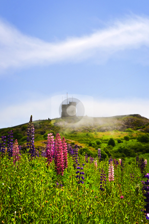 Garden lupin flowers at Signal Hill stock photo, Garden lupin wildflowers near Signal Hill in Saint John's, Newfoundland by Elena Elisseeva