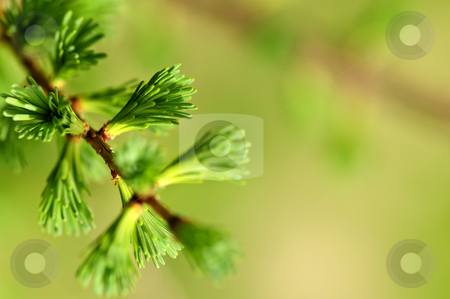 Green spring needles stock photo, Green spring needles budding new life in clean environment by Elena Elisseeva