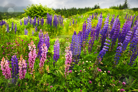 Newfoundland landscape with lupin flowers stock photo, Newfoundland wilderness landscape with purple lupin flowers by Elena Elisseeva