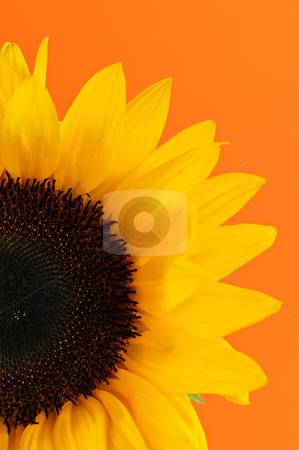 Sunflower closeup stock photo, Close up of sunflower flower on orange background by Elena Elisseeva