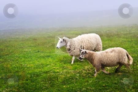 Sheep in Newfoundland stock photo, Two sheep walking in foggy field of Newfoundland, Canada by Elena Elisseeva