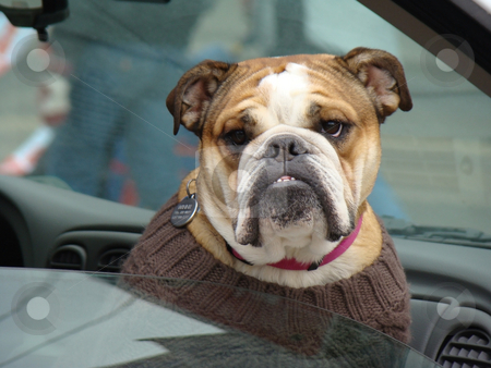Bulldog stock photo, This bulldog is out for a ride in the car by CHERYL LAFOND