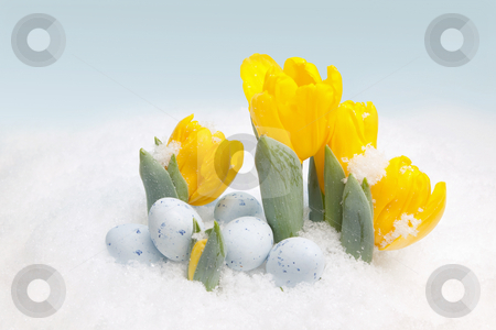 Easter snow stock photo, Easter eggs and yellow tulips in the snow by Anneke
