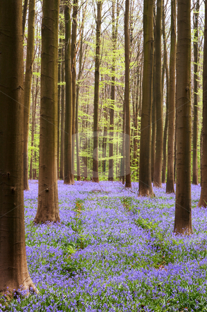 Bluebell forest stock photo, Bluebell forest in April - Hallerbos woods in Belgium by Anneke