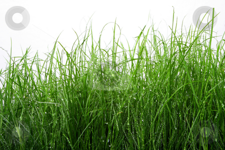 Green grass stock photo, Green grass with water drops on isolated against white by Johann Helgason
