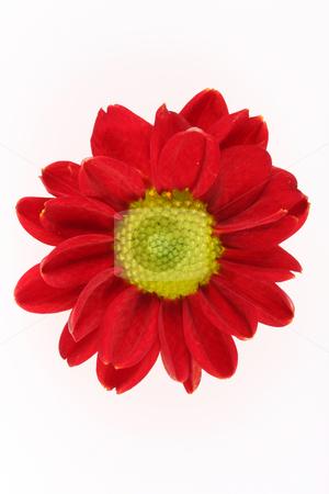 Flower bud stock photo, Red flower bud shot on white by Johann Helgason