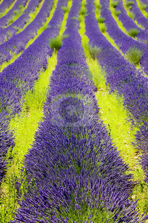 Provence, France stock photo, Lavender field, Plateau de Valensole, Provence, France by Richard Semik