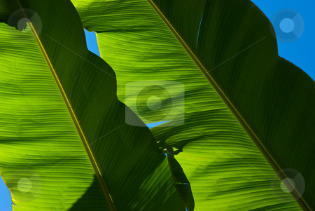 Bananenbl?tter - Banana leafs stock photo, Die Bananen (Musa) sind eine Pflanzengattung in der Familie der Bananengew?chse (Musaceae). - Banana is the common name for herbaceous plants of the genus Musa and for the fruit they produce. by Wolfgang Heidasch