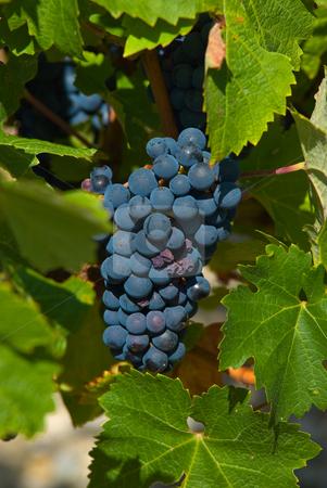 Wein im Medoc stock photo,  by Wolfgang Heidasch