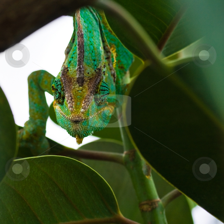 Jemen chameleon - square cropped image stock photo, Green Jemenchameleon climbing through branches - square image by Colette Planken-Kooij
