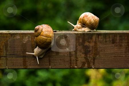 Big escargot snails on wooden bar in the rain stock photo, Big escargot snails crawling on wooden bar in the rain in summer by Colette Planken-Kooij