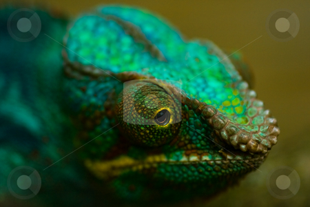Panther chameleon stock photo, Head of colorful Panther chameleon in close view by Colette Planken-Kooij