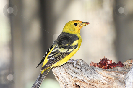 Western Tanager stock photo, A western tanager enjoying his lunch on a branch by Don Fink
