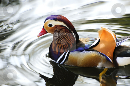 Mandarin duck stock photo, A colorful mandarin duck floating on a pond by Don Fink