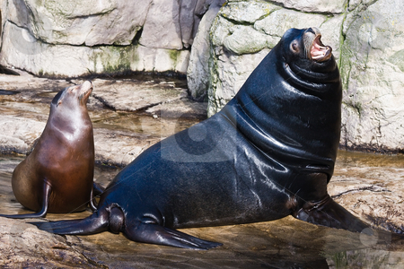 Sea lions stock photo, Big leader male sea lion with smaller female by Colette Planken-Kooij