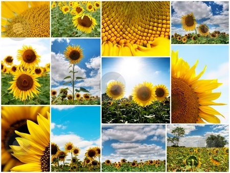 Sunflowers collage stock photo, Collage of several colorful  sunflower pictures with white border by Laurent Dambies