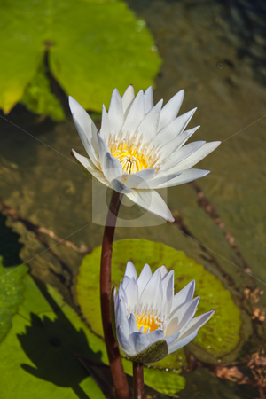 White Lily's stock photo, Two white and yellow lily's sitting in a pond of water by Kevin Tietz