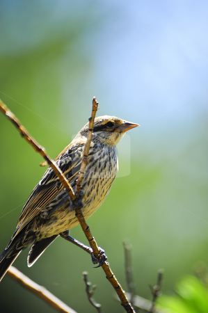 Sparrow on a branch stock photo, A sparrow sitting on a branch in spring by Don Fink