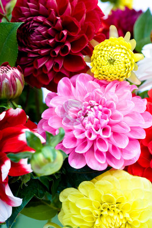 Dahlias bunch stock photo, Bunch of dahlias in front of white surface by Val Thoermer