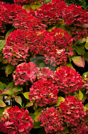 Red colored autumn flowers on Hortensia stock photo, Flowers on Hortensia coloring red in autumn sun - vertical image by Colette Planken-Kooij
