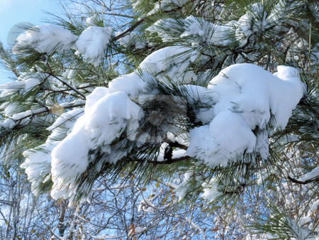 Snow on the tree stock photo, Snow on the pine needles of a tree shown close up. by Tim Markley