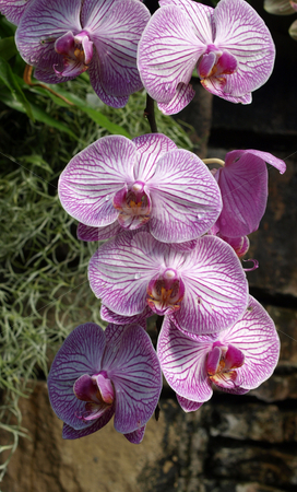 Hanging orchids stock photo, Hanging orchids in a botancical garden by Tim Markley
