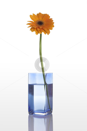Orange flower stock photo, A blue vase with a orange gerbera flower isolated on white background by ikostudio