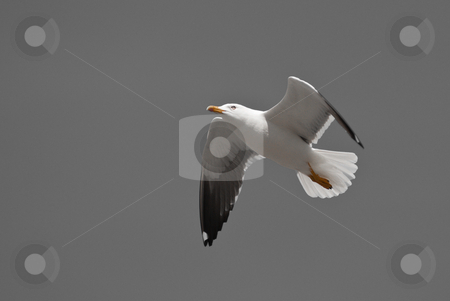 Flying seagull stock photo, A digitally altered image of a flying seagull by Alexander L?