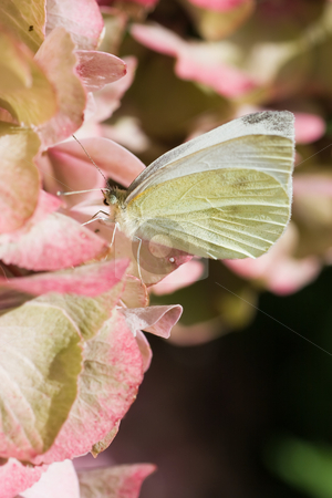 Small white  stock photo, A small white butterfly on pink hortensia by Colette Planken-Kooij