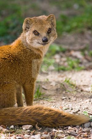 Yellow mongoose or red meerkat stock photo, Yellow mongoose or red meerkat lives on grasslands in Africa by Colette Planken-Kooij