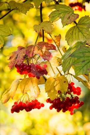 Guelder Rose or snowball tree stock photo, Guelder Rose, also called Water Elder, European Cranberrybush, Cramp Bark or Snowball Tree with red berries and colored leaves with autumn colors background in october by Colette Planken-Kooij