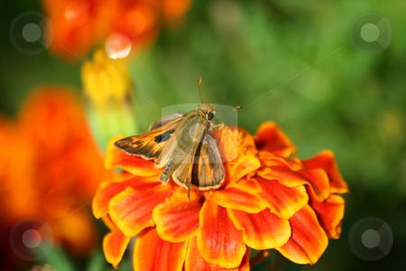 Hummingbird moth on a marigold stock photo, A Hummingbird moth on a marigold by Jim Mills