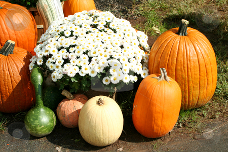 Bunch of pumpkins and a mum stock photo, A Bunch of pumpkins and a mum by Jim Mills