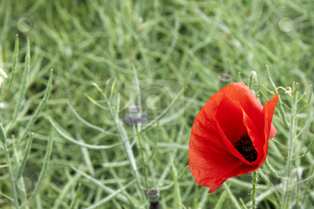 Poppy stock photo, A poppy in a field of green corn by Mark Bond