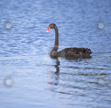 Black swan stock photo, A photography of a black swan in Australia by Markus Gann