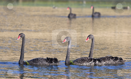 Black swan stock photo, A photography of some black swan in Australia by Markus Gann