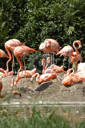 Pink flamingos stock photo, Pink flamingos on the bank of a small creek by Tim Markley