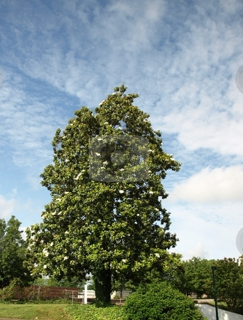 Tall magnolia stock photo, A old southern magnolia tree in the spring time of the year by Tim Markley