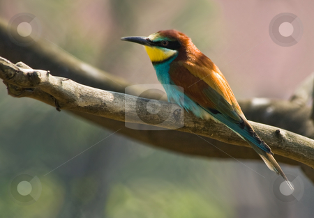 Bee-eater resting stock photo, Bee-eater resting on a branch of a tree by Colette Planken-Kooij