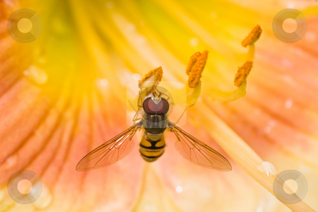 Hoverfly on daylily flowers stock photo, Hoverfly on yellow daylily flowers after rainfall by Colette Planken-Kooij